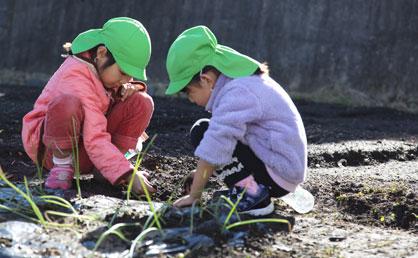 玉ねぎの苗の根元に土寄せをする。